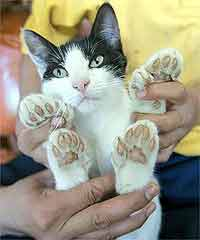 Семипалые кошки лучше царапаются