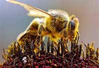 Причиной массовой гибели пчел могут быть мобильные телефоны