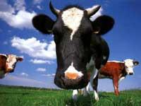 Матушка корова