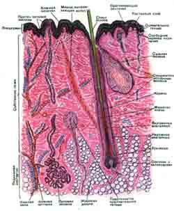 Cхема строения кожи