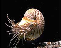Nautilus pompilius - такой четырехжаберный головоногий моллюск