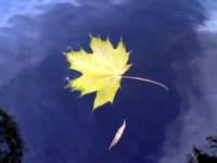 Кленовый жёлтый лист