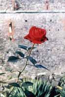 Роза на камне
