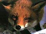 Нижняя палата британского парламента запретила охоту на лис